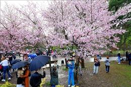 Người dân Moskva đội mưa ngắm hoa anh đào Nhật Bản
