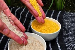 Philippines sản xuất thương mại 'gạo vàng' biến đổi gene