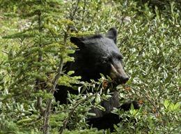 Đóng cửa một tuyến đường tham quan để gấu thưởng thức hoa quả