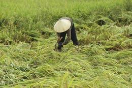Nhiều diện tích lúa đang thu hoạch ở Điện Biên hư hại do giông lốc
