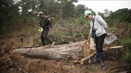 Lâm Đồng: Phạt đối tượng đầu độc rừng thông 11 triệu đồng
