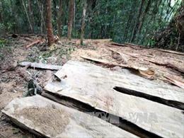 Bình Định: Sẽ khởi tố vụ án khai thác gỗ rừng phòng hộ trái phép