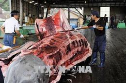 Australia phản đối đề xuất nối lại hoạt động đánh bắt cá voi của Nhật Bản