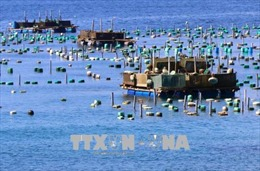 Phú Yên khắc phục tình trạng nuôi tôm hùm không theo quy hoạch