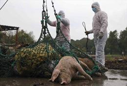 Dịch tả lợn châu Phi tác động xấu tới ngành chăn nuôi Bỉ và Trung Quốc