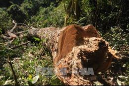 Hàng loạt cổ thụ gỗ nghiến bị đốn hạ trái phép ở Vườn Quốc gia Ba Bể