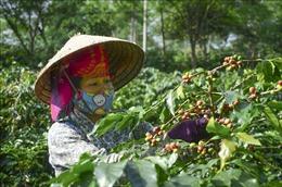 Bảo vệ và phát triển rừng ở Điện Biên - Bài cuối: Tạo 'đột phá' bằng các cây công nghiệp