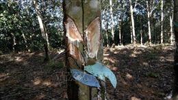 Điều tra vụ chặt vườn cao su của người dũng cảm tố cáo nạn phá rừng