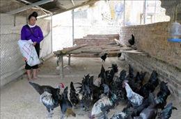 Hướng đi nào cho giống gà đen Tủa Chùa?