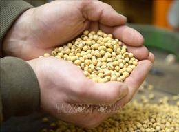 Nông dân trồng đậu tương ở Mỹ thiệt hại nặng nề do thương chiến Mỹ-Trung
