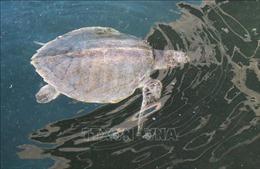 Bảo tồn loài rùa biển quý hiếm tại Vườn Quốc gia Núi Chúa, Ninh Thuận