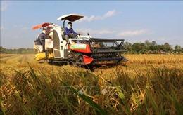 Lúa Đông Xuân tại Hậu Giang được giá