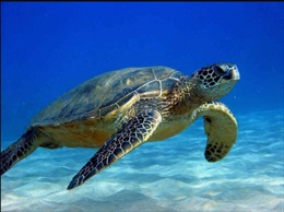 Côn Đảo - Sinh cảnh làm tổ an toàn nhất của rùa Xanh tại Việt Nam