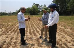 Nhiều diện tích lúa và hoa màu ở Thừa Thiên - Huế có nguy cơ mất trắng