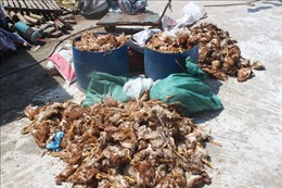 Ném đá vào trang trại nuôi gà làm khoảng 1.200 con gà bị chết
