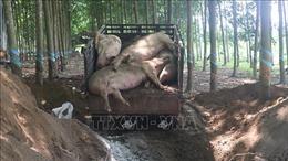Ngăn chặn dịch tả lợn châu Phi lây lan sang các địa bàn khác