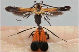 Thêm hai loài bướm đêm vào thế giới côn trùng của Trái Đất