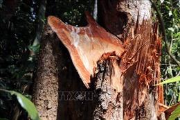 Rừng đầu nguồn Trà Kót bị tàn phá
