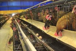 Người dân mong sớm giải quyết ô nhiễm môi trường từ trại gà ở Cẩm Khê, Phú Thọ
