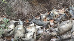 TP Hồ Chí Minh: Hàng trăm xác lợn bệnh hôi thối vứt bừa bãi trong rừng tràm