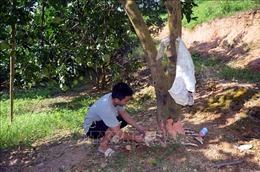 Vườn bưởi sắp thu hoạch của người dân bị phá hoại, gây thiệt hại lớn