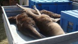 Một thanh niên bị buộc tội vì gây ra cái chết của 20 con Kangaroo