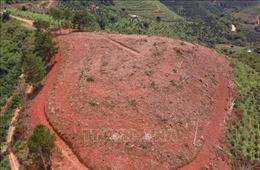 Rừng thông gần 20 năm tuổi tại Lâm Đồng lại bị triệt hạ