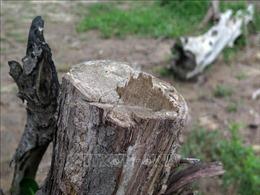 Yêu cầu trả lại hiện trạng diện tích đất rừng bị lấn chiếm tại Quảng Ngãi