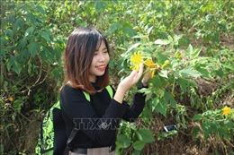Hàng vạn du khách chiêm ngưỡng hoa dã quỳ tại Vườn Quốc gia Ba Vì