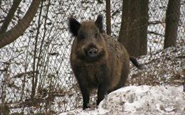 Đức lặp đắt hàng rào điện phòng dịch tả lợn châu Phi tại khu vực biên giới