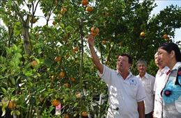 Quýt hồng Lai Vung được giá, mất mùa
