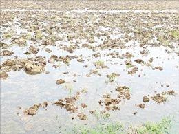 Trên 37% diện tích khu vực Trung du và Đồng bằng Bắc bộ đã có nước gieo cấy