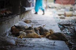 Hòa Bình xuất hiện dịch cúm gia cầm A/H5N6
