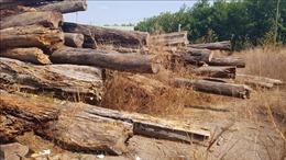 Mất rừng, mất tiền, hàng ngàn mét khối gỗ để mục nát ở Bình Phước