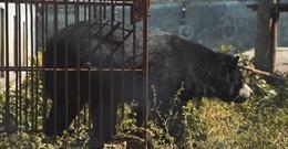 Ra mắtphim ngắnlên án hoạt động nuôi nhốt gấu lấy mật