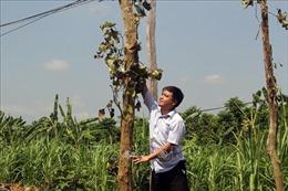 Nông dân trồng hồ tiêu gặp khó khi chuyển đổi cây trồng