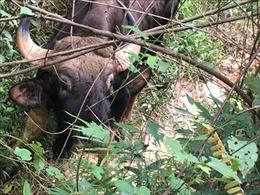 Bảo vệ bò tót trên địa bàn tỉnh Bình Phước