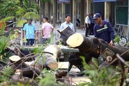 Đồng Nai: Cây phượng bật gốc sau cơn mưa, ba nữ sinh bị thương