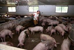 Giá lợn hơi tăng trở lại