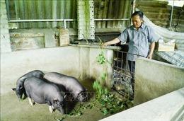 Dịch tả lợn châu Phi tái phát khiến người dân lo lắng khi tái đàn