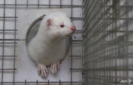 Hà Lan phát hiện thêm trang trại nuôi chồn nhiễm virus SARS-CoV-2