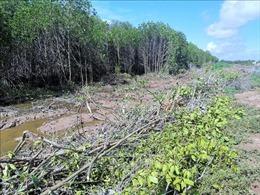 Rừng phòng hộ ven biển bị phá do chính đơn vị thi công tuyến đê bảo vệ bờ biển