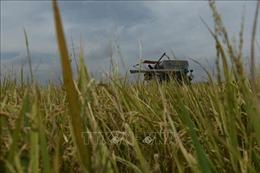 Chiến lược lúa gạo mới của Thái Lan chú trọng vào sản lượng, cây giống