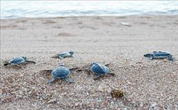 Cứu hộ, thả hơn 800 con rùa quý hiếm về biển