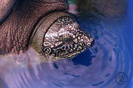 Rùa ở Đồng Mô là loài rùa Hoàn Kiếm, giống cái