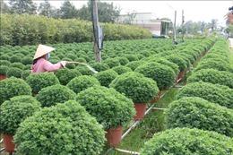 Nhà vườn ở Chợ Lách giảm sản lượng hoa cảnh phục vụ Tết