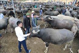 Mục sở thị chợ phiên trâu bò lớn nhất vùng cao Bắc Kạn
