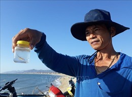 Ngư dân Ninh Thuận được mùa khai thác tôm hùm giống