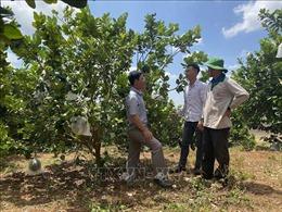 Chuyên canh cây ăn quả trên vùng trọng điểm hồ tiêu Chư Pưh, Gia Lai