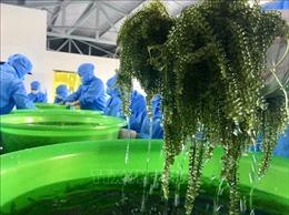 Cần hướng đi ổn định cho nghề nuôi trồng rong nho ở Khánh Hoà